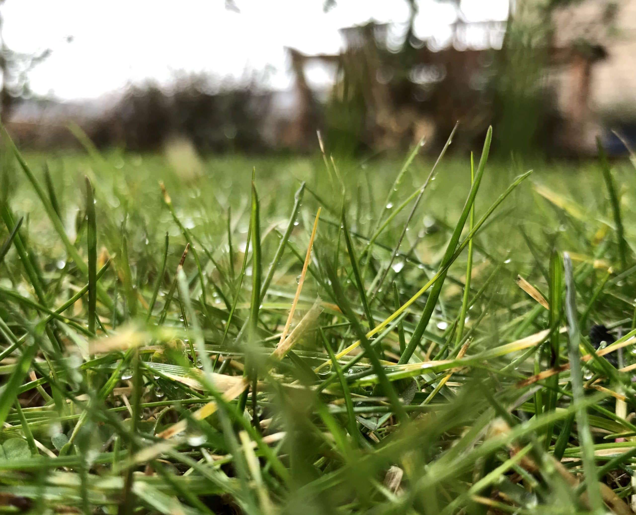 Græsplænen – insekternes ørken
