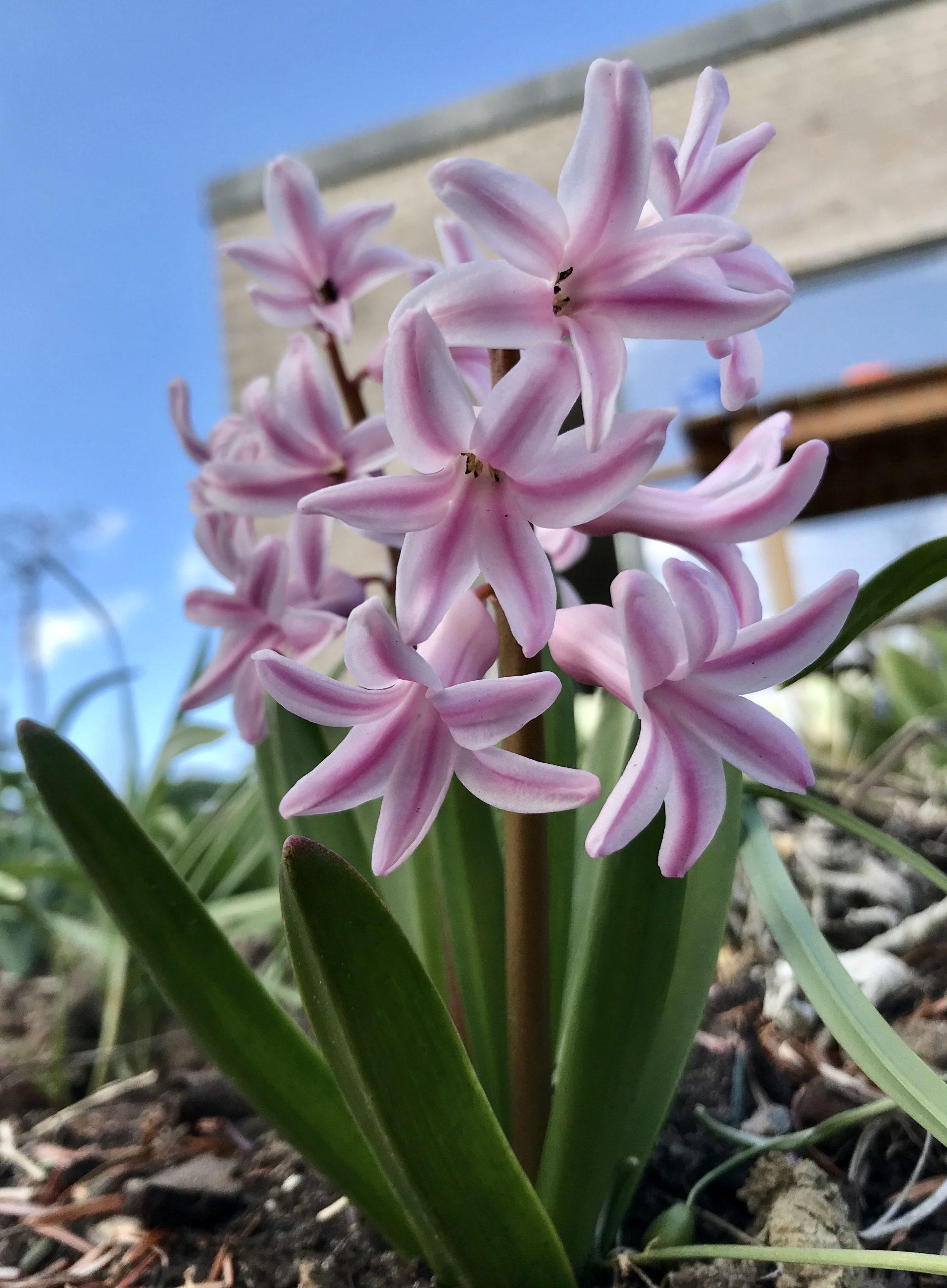 Ugens plante: Hyacint