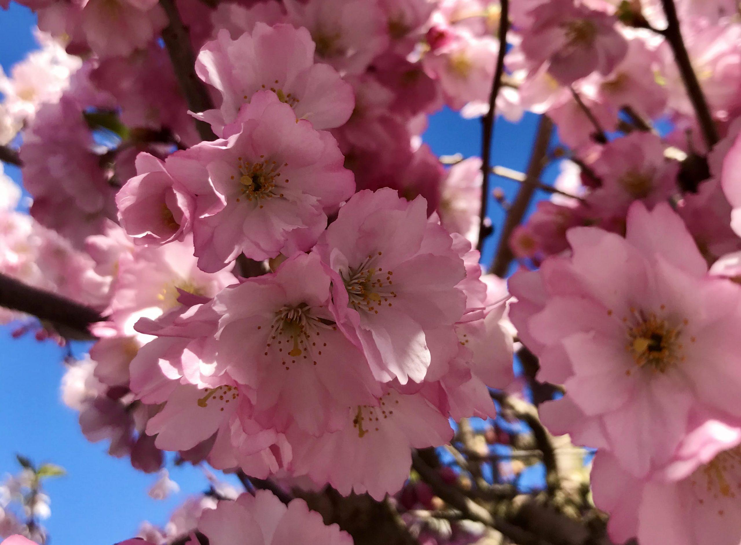 """Ugens plante: Japansk kirsebær """"Accolade"""""""