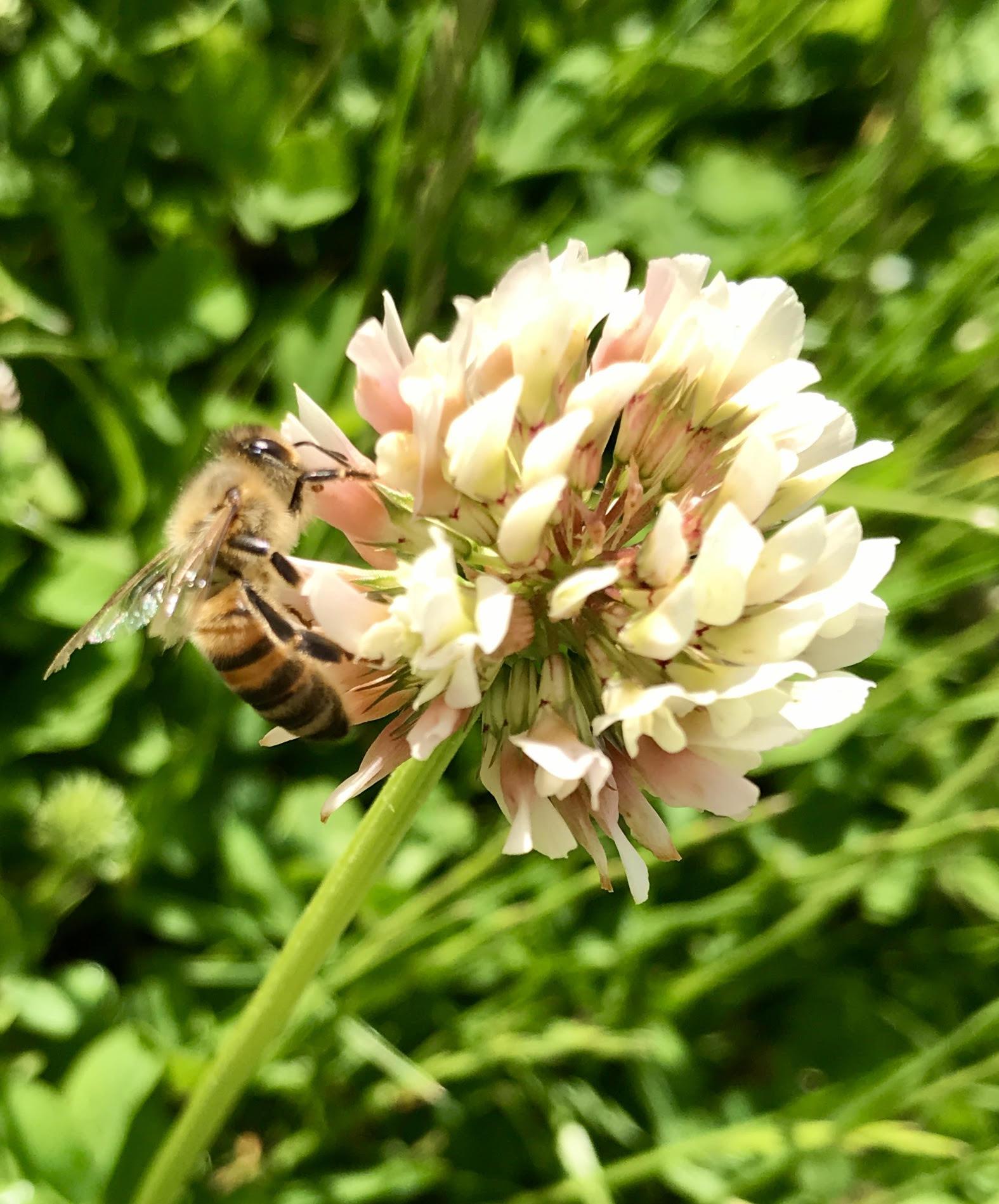 Kløver med bi