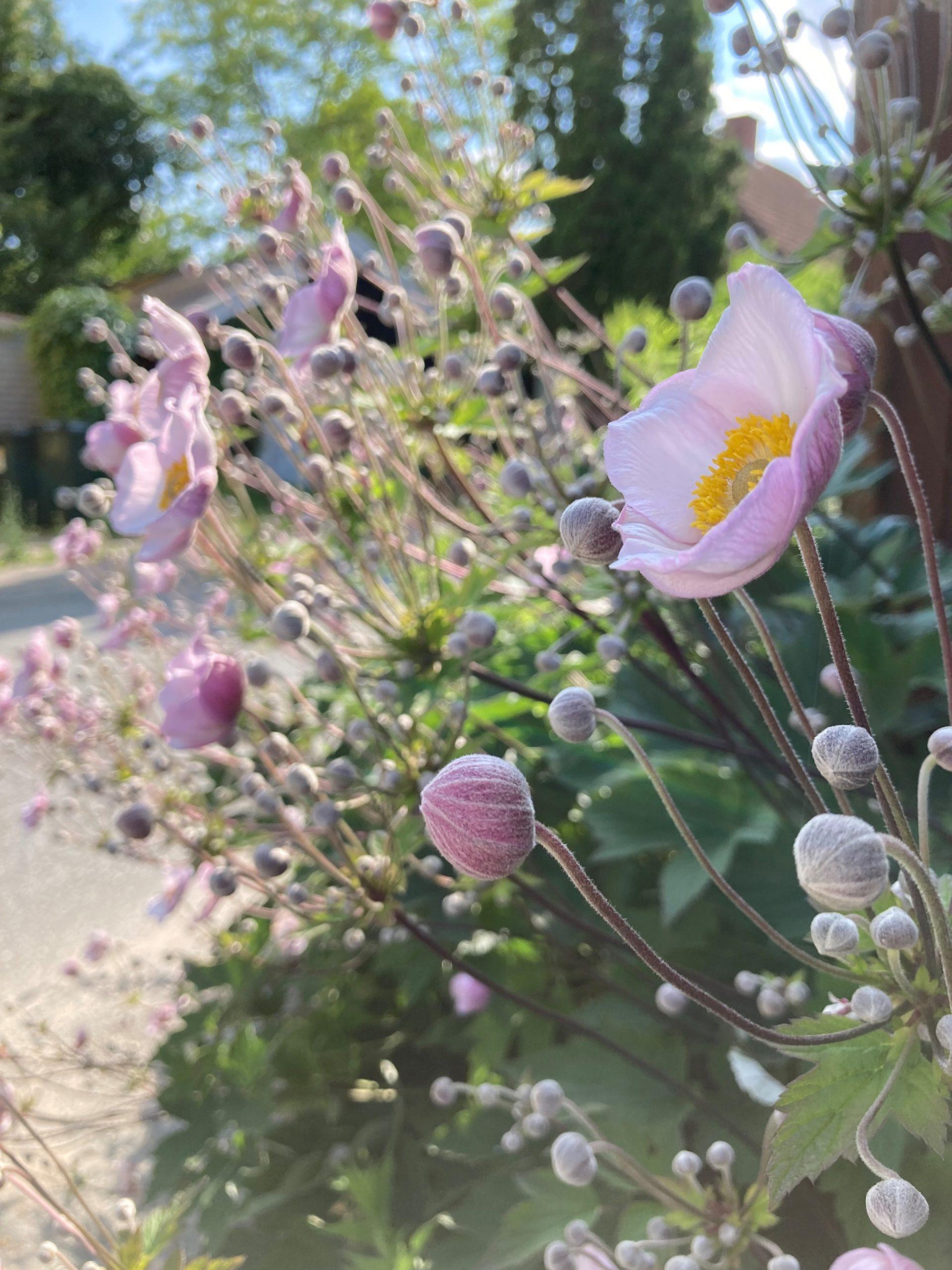 Ugens plante: Høstanemone