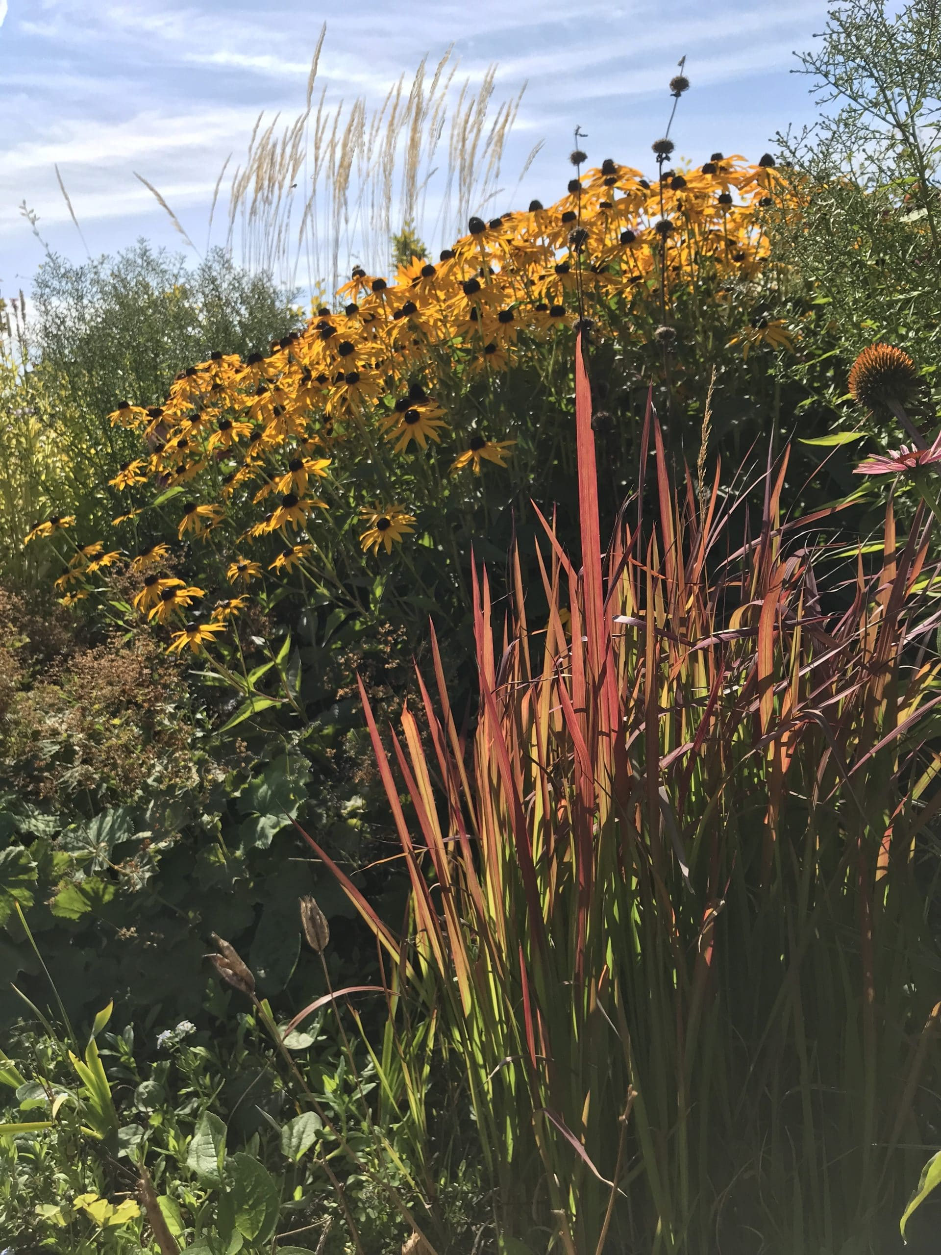 "Ugens plante: Solhat: Rudbeckia fulgida ""Goldsturm"""