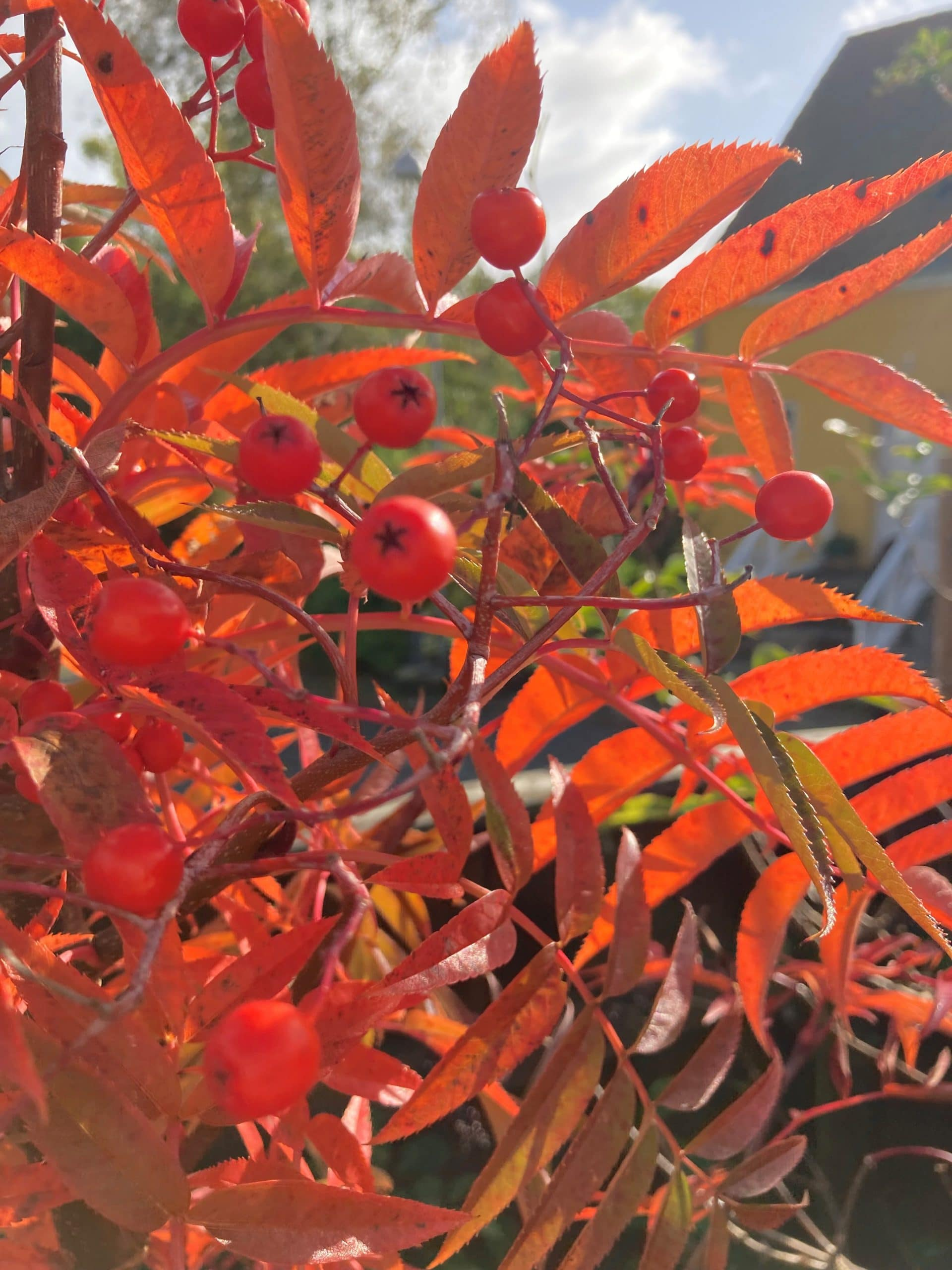 Ugens plante: Koreansk røn