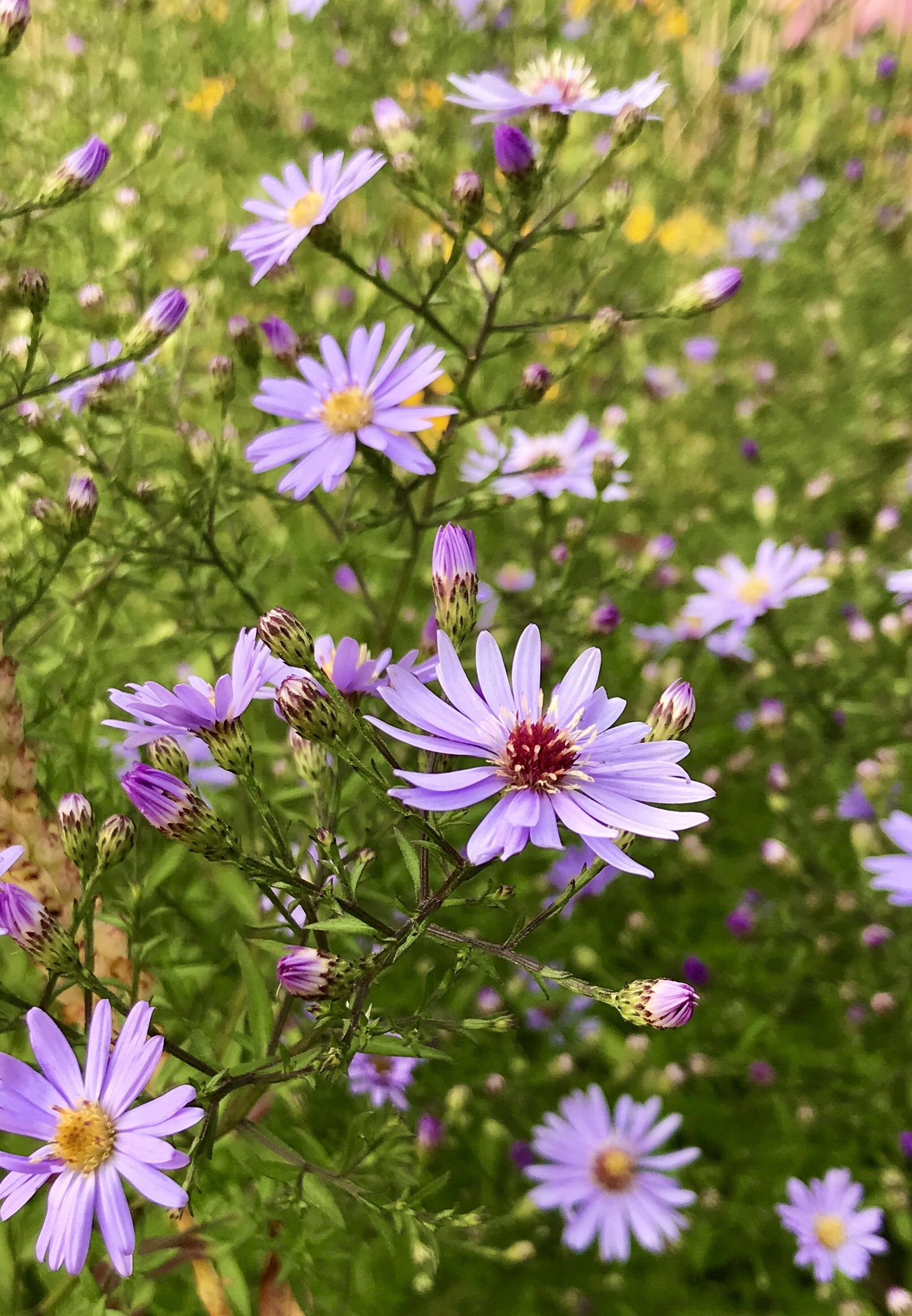 """Ugens plante: Asters """"Little carlow"""""""