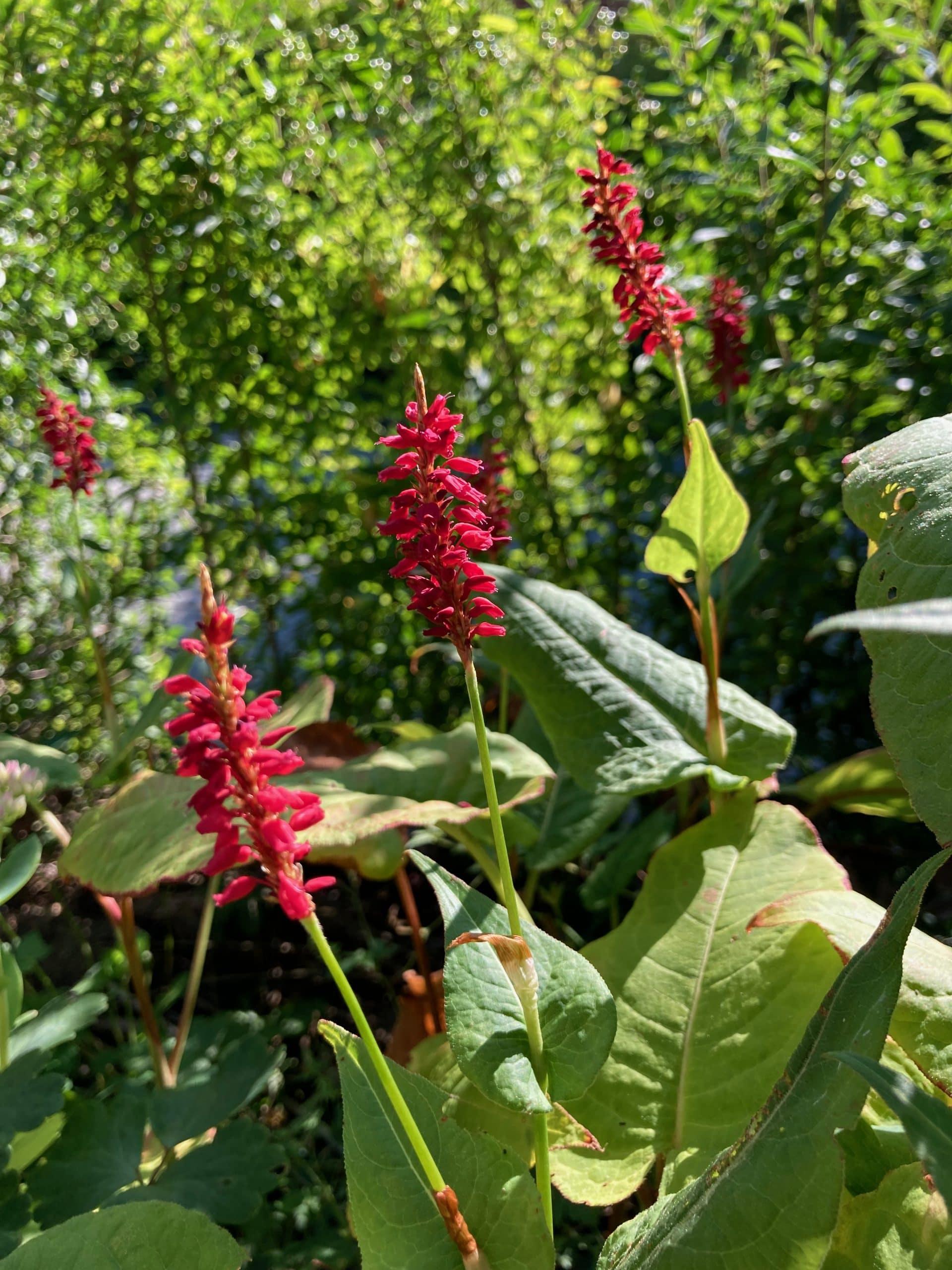 Ugens plante: Kertepileurt